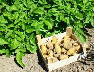 semance de patates et feuillage