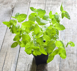 Fresh mint in the pot on vintage wooden boards