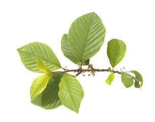 Faulbaum, Rhamnus frangula,