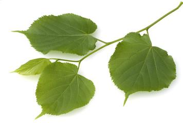 Sommerlinde, Lindenblatt, Tilia platyphyllos