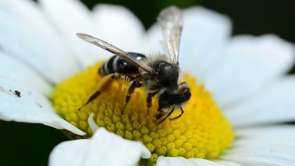 bee on a daisy(camomile)