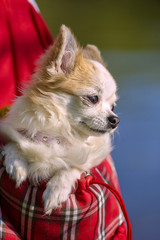chihuahua dog inside bright bag for pet carrier
