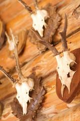 Deer head trophy collection