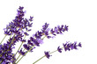 lavender flower in closeup - 52742057