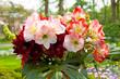 Beautiful Amaryllis flowers Amaryllidaceae