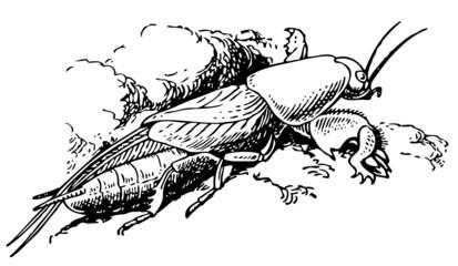 Mole cricket on the ground
