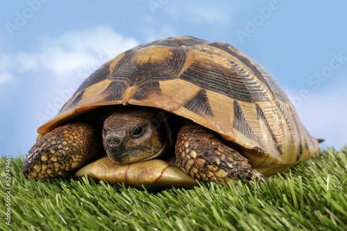 Foto op Plexiglas Schildpad Turtle Testudo hermanni tortoise