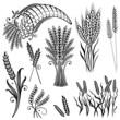 Getreide, Korn, Ähren, Kornfeld