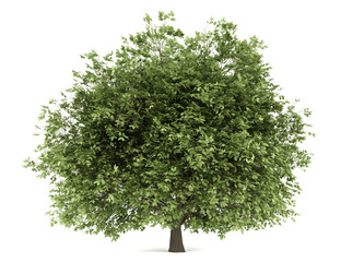 hornbeam tree isolated on white background