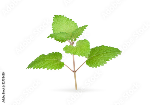 Fresh mint herb isolated on white