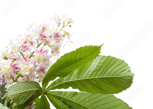 Chestnut flower macro photo with leaves isolated on white