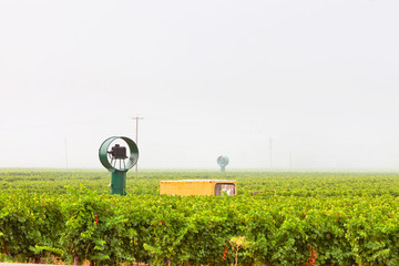 Vineyard culture landscape in the mist. Napa Valley. California.