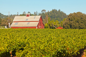 Vineyard with red barn and blue sky. Napa Valley. California. US