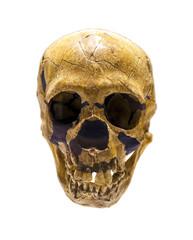 Skull of Homo Neanderthalensis
