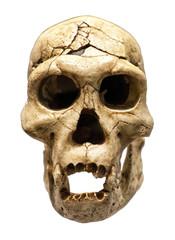 Skull of Homo Erectus
