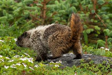 Hoary Marmot in his habitat