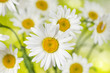 Blooming chamomile flowers