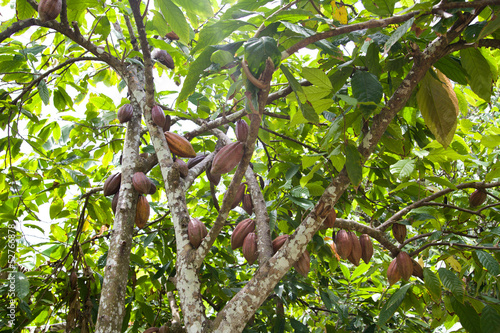 owoce-kakaowca-ziarna-kakaowca