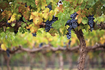 Red wine grapes on autumn vine