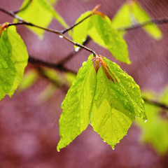 Rainy spring leaves