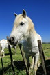 White horse portrait, Camargue, France