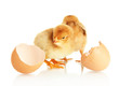 Little chickens with eggshell isolated on white