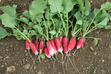 French Breakfast Radish Just Picked