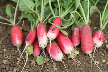 Radishes From Allotment