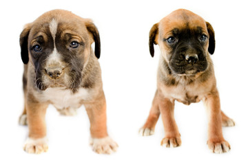 Two adorable puppy Boxer sitting in front of white background