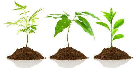 plantules