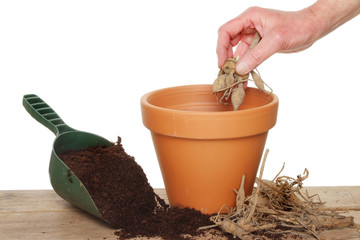 Planting a dahlia