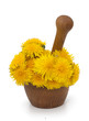 yellow dandelions in a mortar