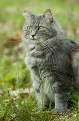 Gray siberian cat walking in forest