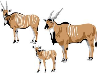 eland antelope family