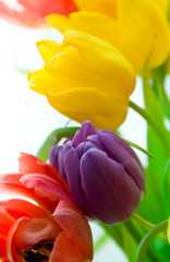 colored tender tulips in spring bouqet