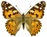 Isolated painted lady butterfly