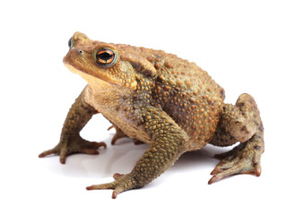 European toad (Bufo bufo) isolated on white