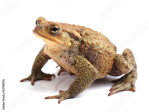 Foto op Aluminium Kikker European toad (Bufo bufo) isolated on white