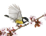 Male great tit taking off from a flowering branch, Parus major