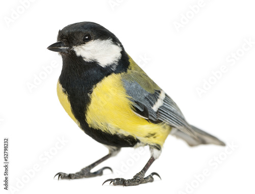 Fotobehang Vogel Male great tit, Parus major, isolated on white
