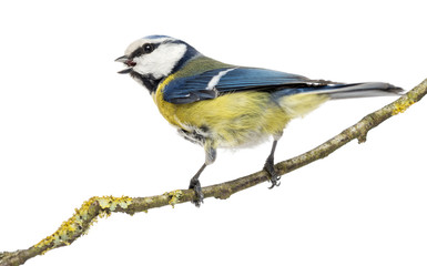 Tweeting Blue Tit perched on a branch, Cyanistes caeruleus