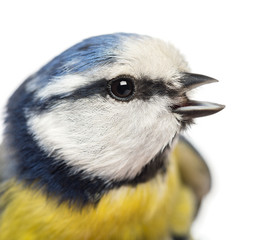 Close-up of a tweeting Blue Tit, Cyanistes caeruleus, isolated