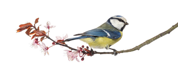 Blue Tit perching on a blossoming branch, Cyanistes caeruleus