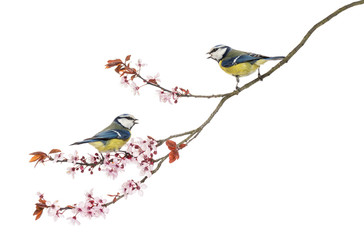 Two Blue Tits whistling on flowering branch, Cyanistes caeruleus