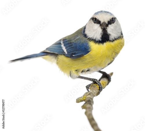 Blue Tit perched on a branch, Cyanistes caeruleus