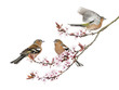 Group of Common Chaffinch perched on a Japanse cherry branch