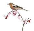 Common Chaffinch perched on branch, Fringilla coelebs