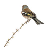 Rear view of a Common Chaffinch perched on branch, isolated