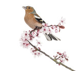 Common Chaffinch perched on Japanese cherry branch, tweeting
