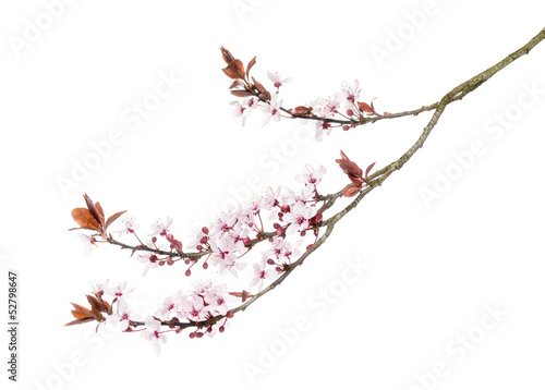 Papiers peints Cerises Japanese Cherry branch, isolated on white
